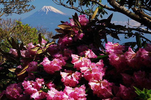 天城山のアマギシャクナゲと富士山