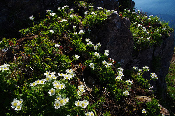 谷川岳山頂のハクサンイチゲ