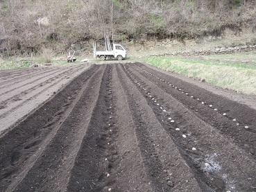 ジャガイモの種植え
