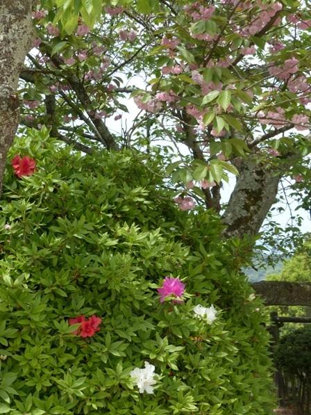 お城山 八重桜 & ツツジ