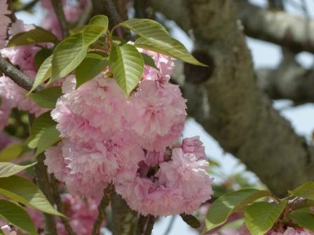 お城山 八重桜 1