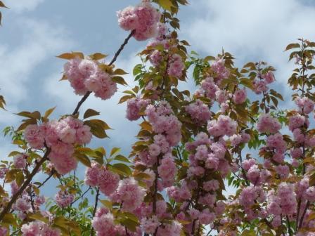 お城山 八重桜 2