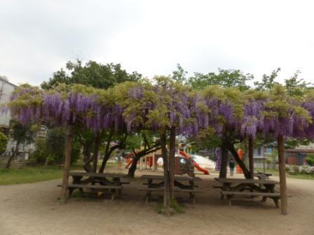 東雲公園の藤 4