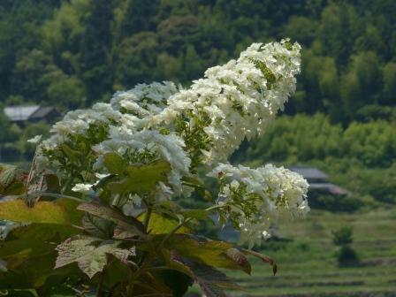 惣河内神社 八重柏葉紫陽花