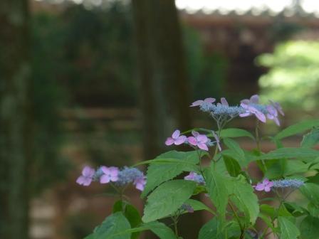 惣河内神社 紫陽花の咲く風景 7