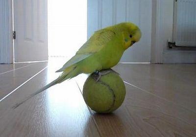 Budgie-Balancing-Trick.jpg