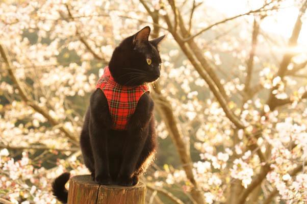 ジジと桜 (1)