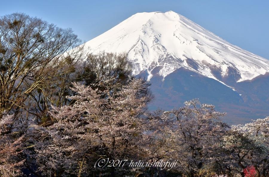 忍野桜SNF