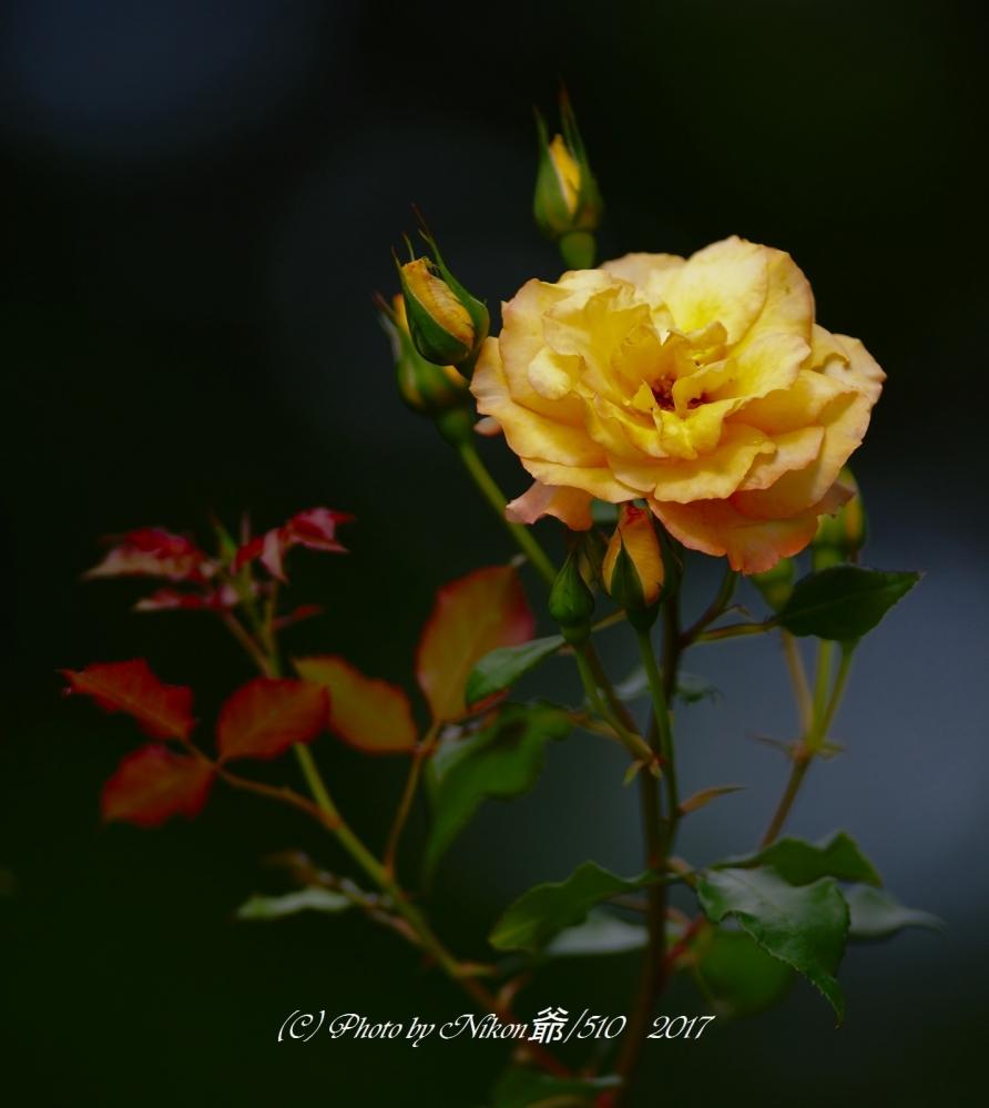 薔薇 Jpeg SNF