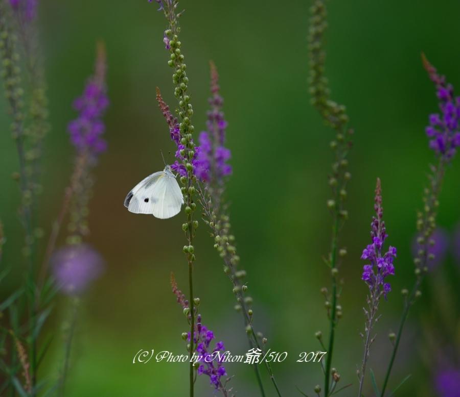 蝶の仕事SN