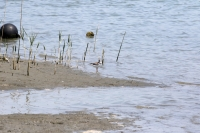 ソリハシシギ