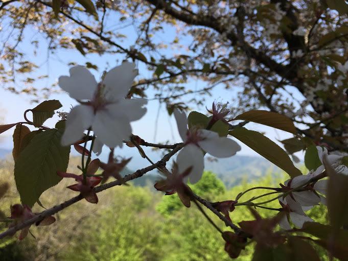 20170430五台山/山桜