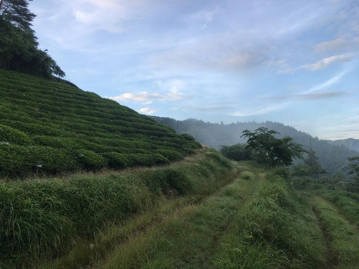2017三国ヶ岳/茶畑