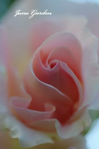 開花ロココ170519