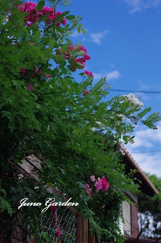 裏のバラ170602