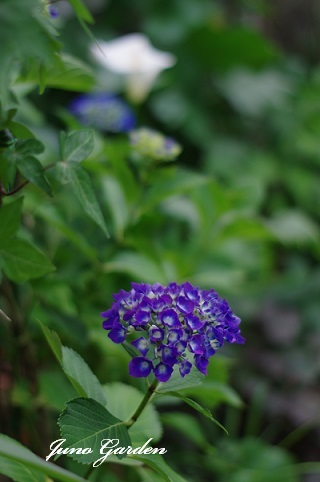 紫陽花170620