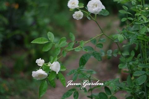白バラ170620