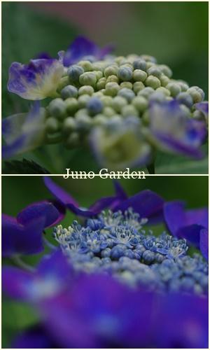 170622紫陽花