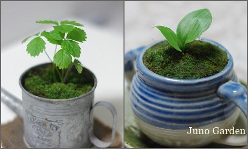 170630ミニ盆栽