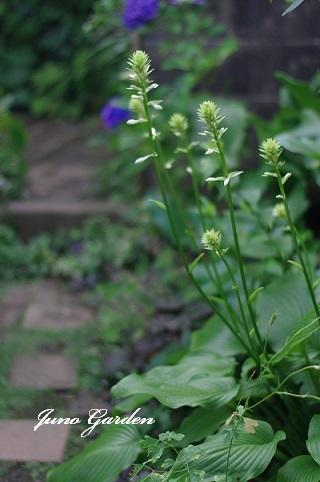 白い花ギボウシ170708