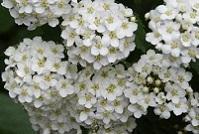 1-1 小手毬の花 20140428