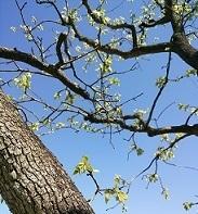柿の木の若芽