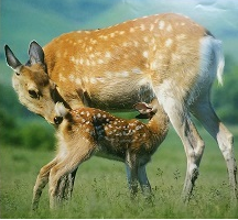 子鹿の授乳光景