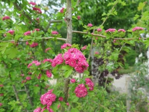 ガーデンパーク 紅花サンザシ
