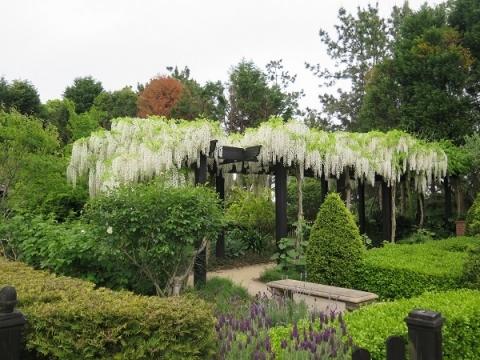 ガーデンパーク 白藤
