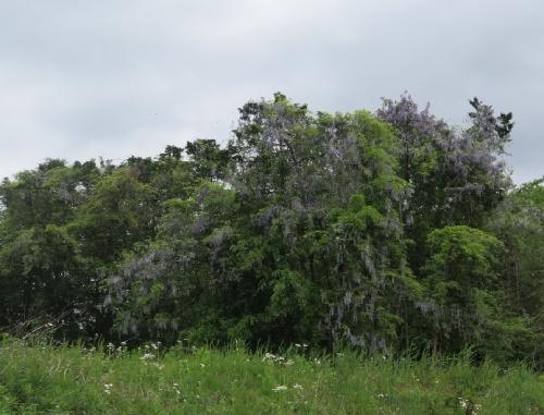 栃木 藤の花