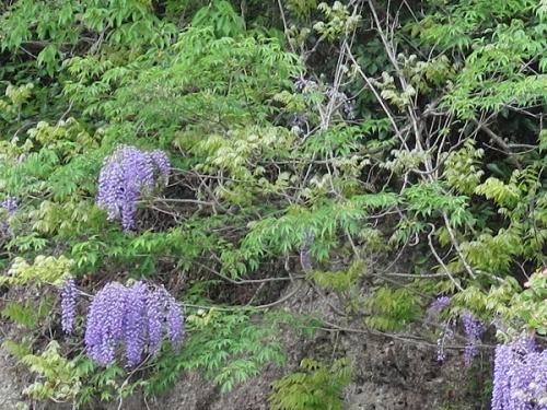 大谷石資料館 藤の花
