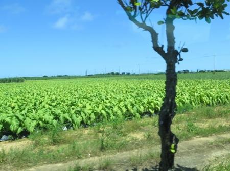 石垣島 タバコ畑