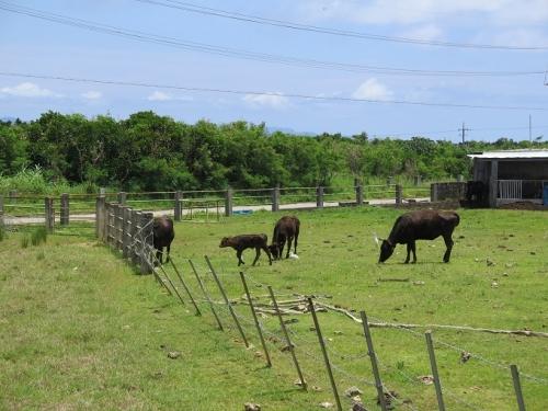 波照間の牛さんとアマサギとコサギ