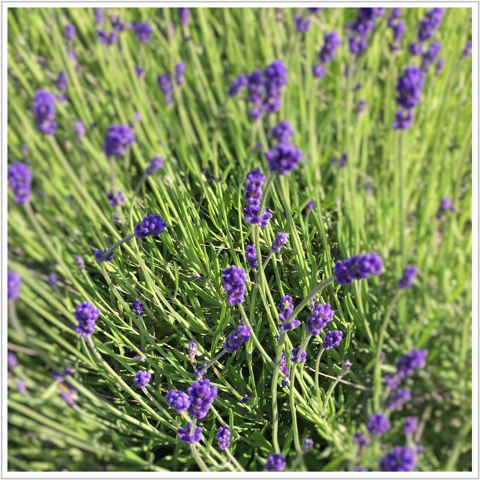 lavender_2_621.jpg