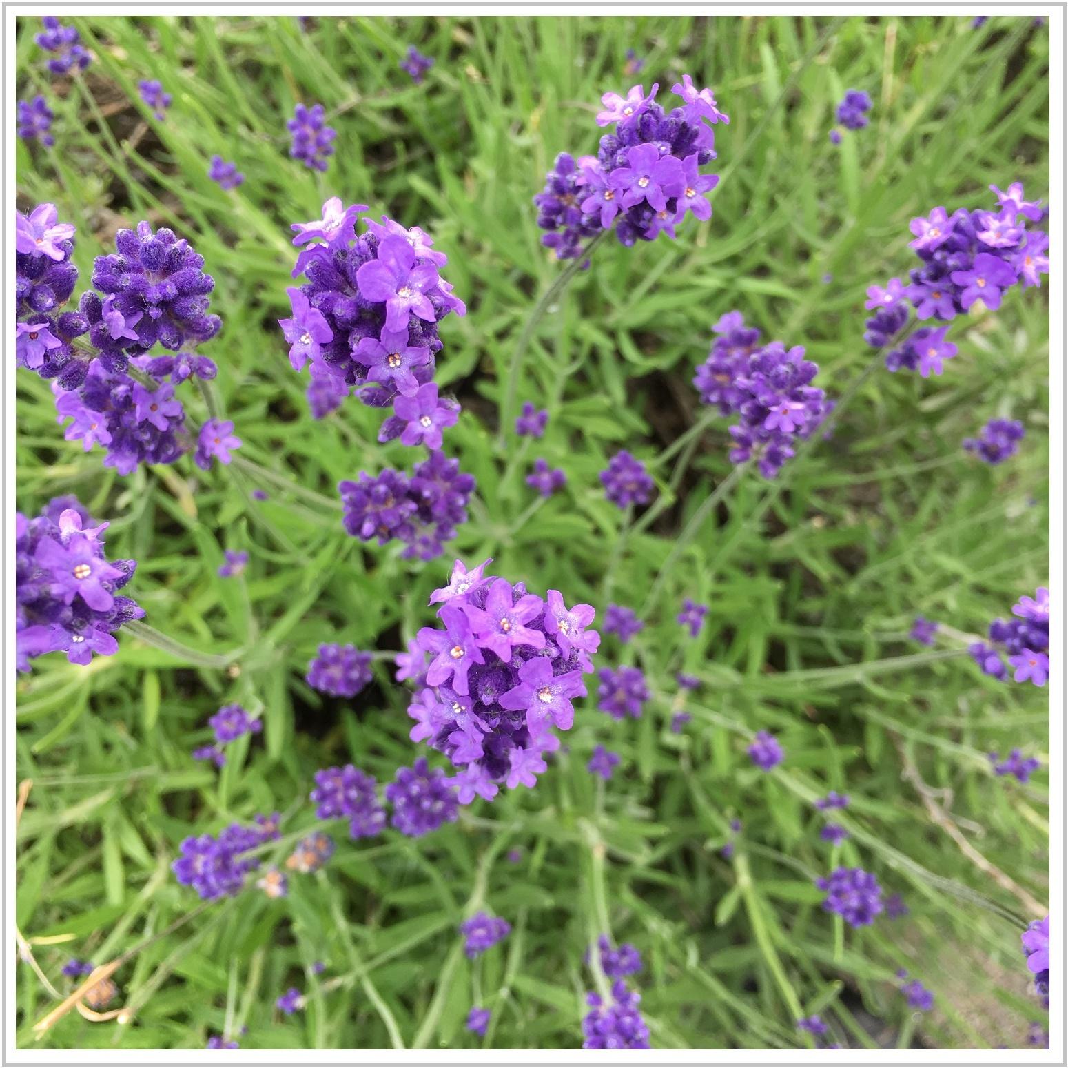 lavender_3_702.jpg
