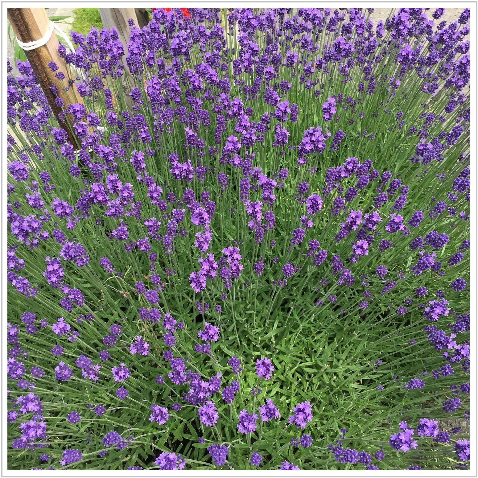 lavender_4_702.jpg