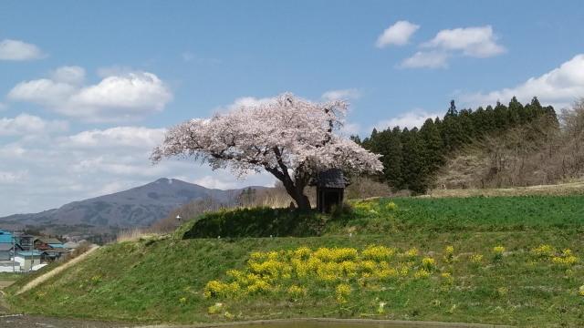 小沢の桜0503
