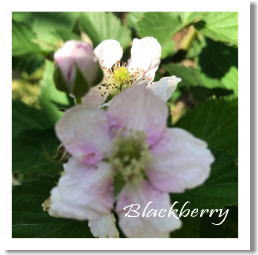 blachberry20170526.jpg