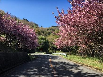 4282017 野呂山登山道桜S