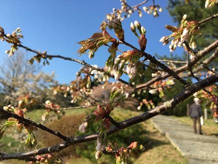 4282017 野呂山これから桜S