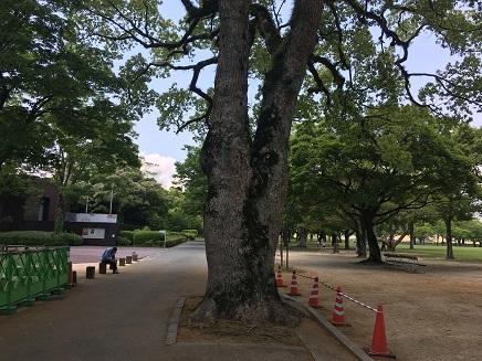 5172017 熊本城二の丸広場大楠S10