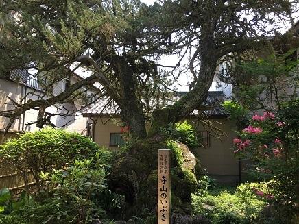 5112017 39番延光寺寺山のいぶき樹齢500年S8