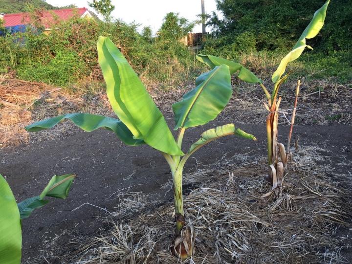 バナナ15