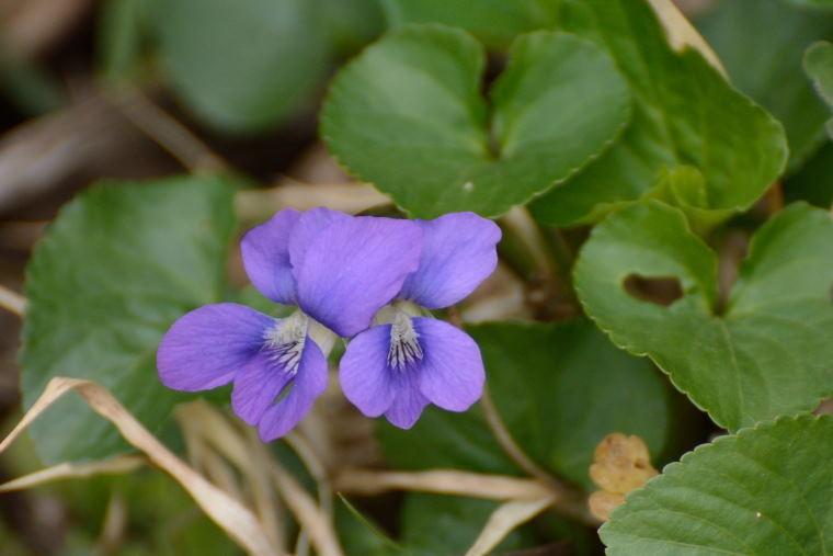 スミレ 紫