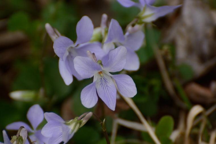 スミレ 薄紫