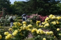 府立植物園のバラ園