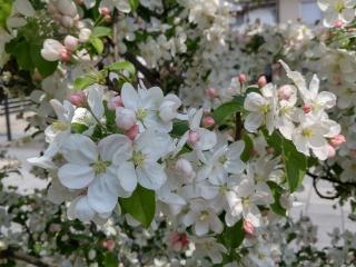 097リンゴの花