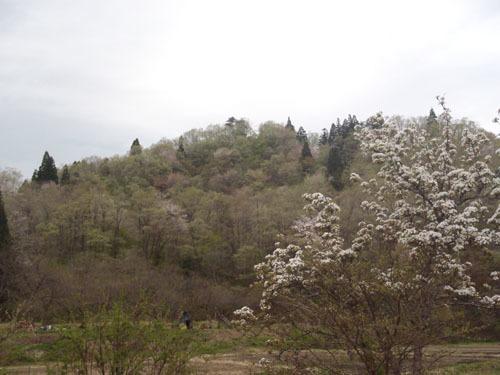 170506 自生桜開花
