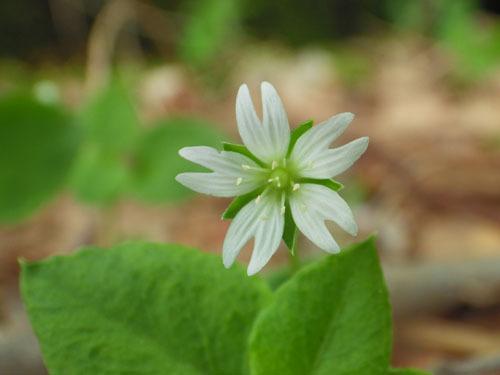 170515 サワハコベ花
