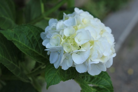 白い紫陽花は